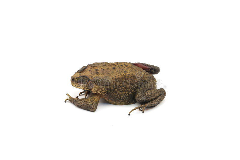 Die toad. With white background royalty free stock photo