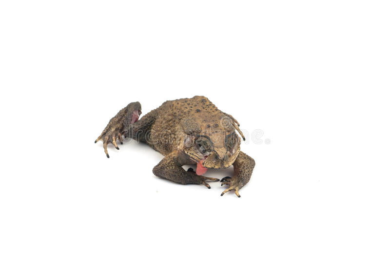 Die toad. With white background royalty free stock image