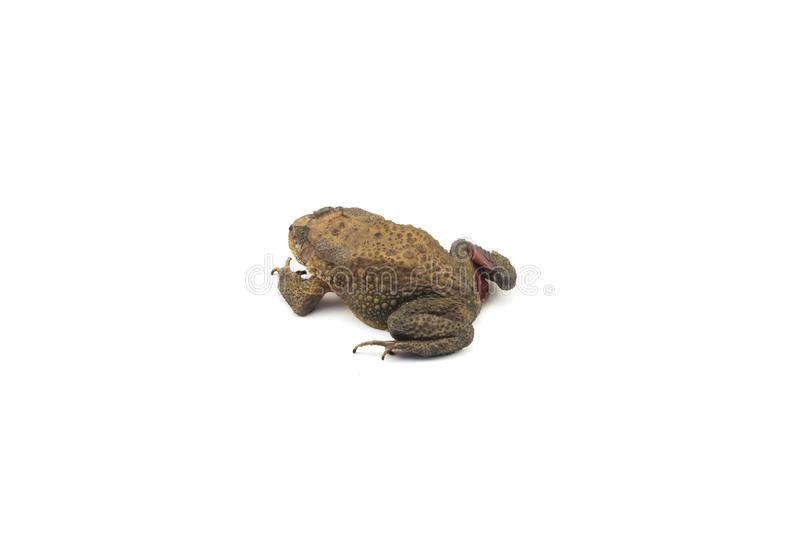 Die toad. With white background royalty free stock photos