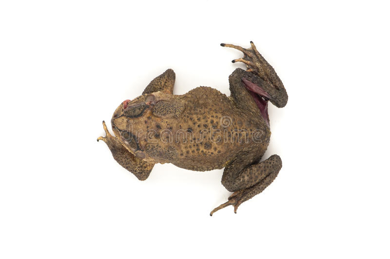 Die toad. With white background stock photo