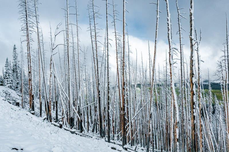 Die toten Kiefer, die mit Schnee bei Dunraven bedeckt werden, überschreiten, Yellowstone Nationalpark lizenzfreies stockfoto