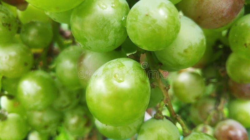 Die Trauben reifen im Weinberg stockbild