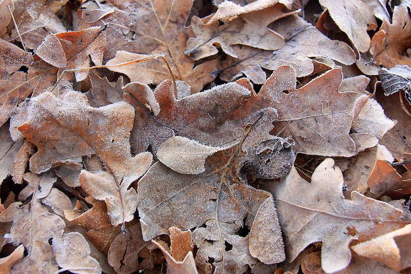 Die trockenen Herbsteichenblätter, die mit Reif Morgen bedeckt werden, bereifen Absetzung stockfoto