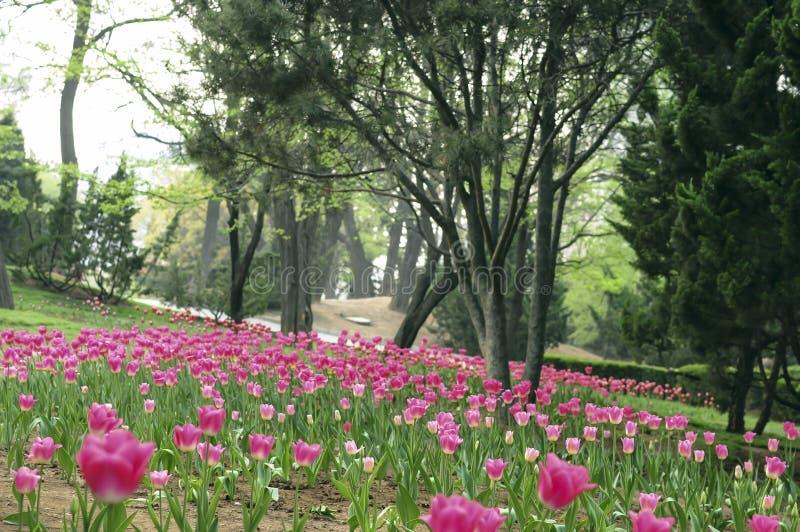 Die Tulpe lizenzfreie stockbilder