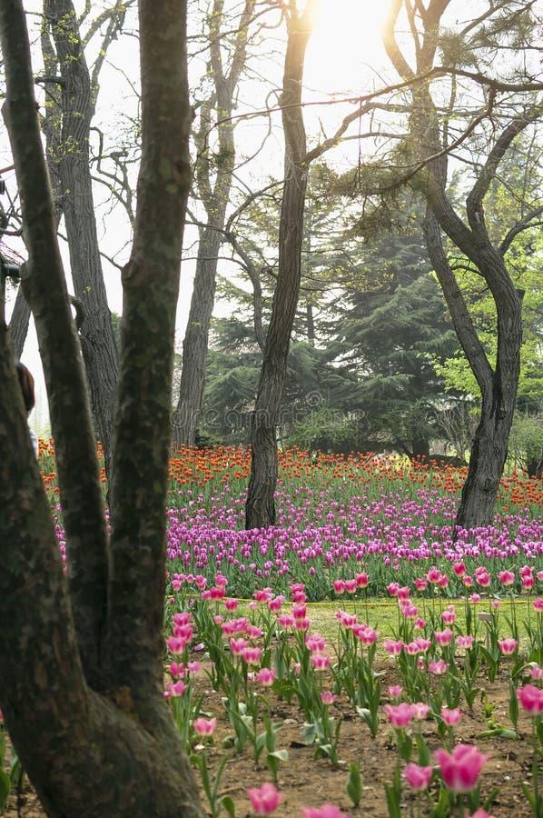 Die Tulpe stockbilder