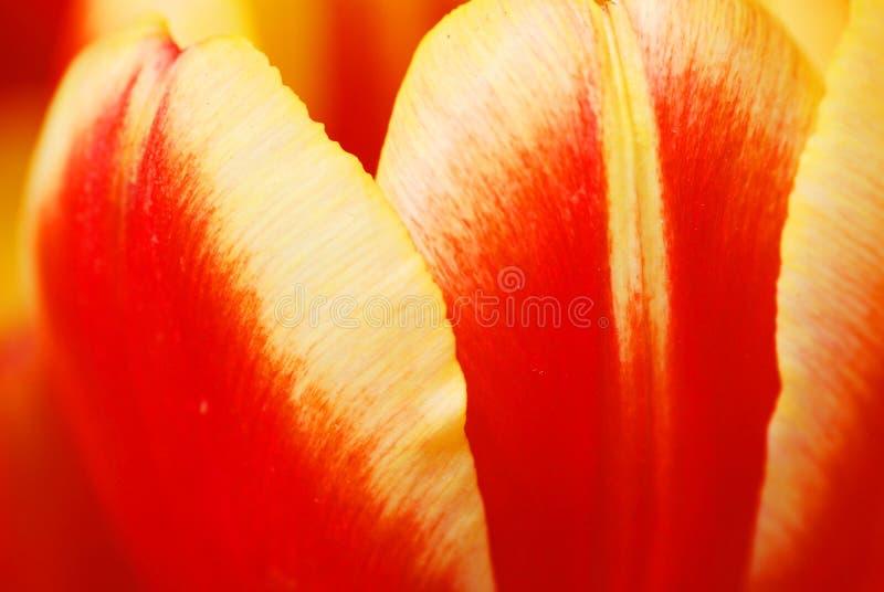 Die Tulpeblumenblätter stockfotos
