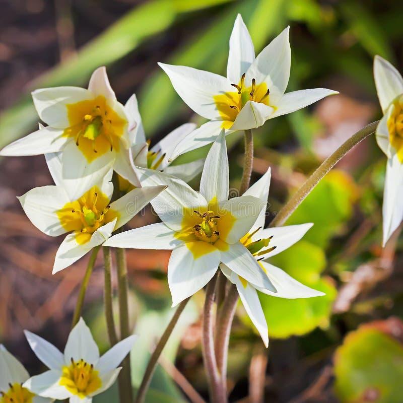 Die Turkestan-Tulpe (Tulipa turkestanica) lizenzfreie stockfotografie
