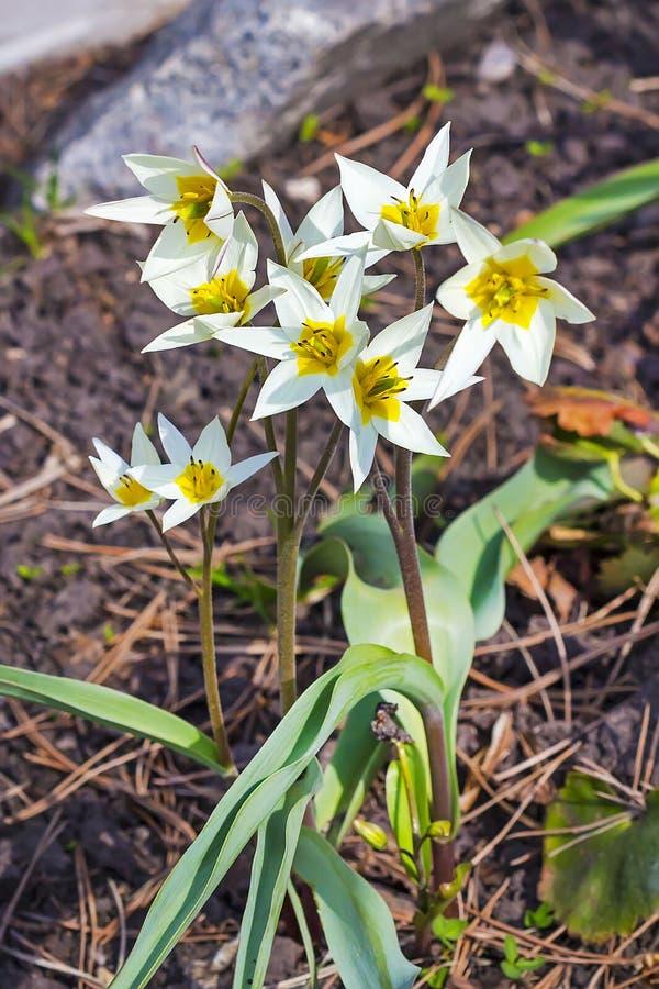 Die Turkestan-Tulpe (Tulipa turkestanica) stockbild