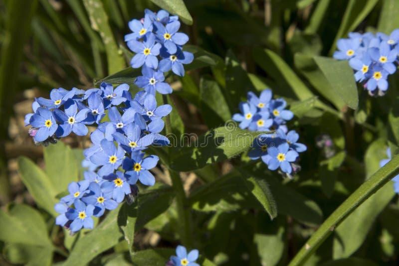 Die unglaublich schönen blauen Blumen von Brunnera-macrophylla der sibirische Bugloss, das große Vergissmeinnicht, das largeleaf  stockbilder