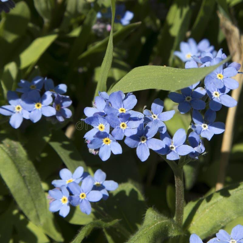Die unglaublich schönen blauen Blumen von Brunnera-macrophylla der sibirische Bugloss, das große Vergissmeinnicht, das largeleaf  stockfotografie