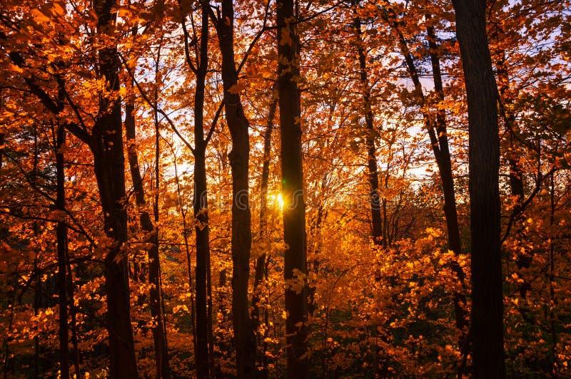 Die untergehende Sonne wirft seine Strahlen durch das gelb-orangee rote Laub des Herbstwaldes stockfoto