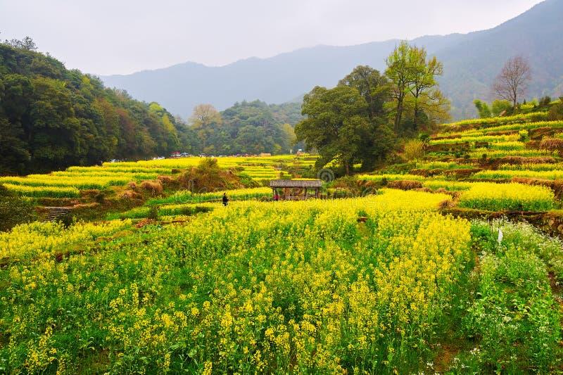 Die Vergewaltigung blüht terassenförmig angelegte Felder und Hügel stockfotos
