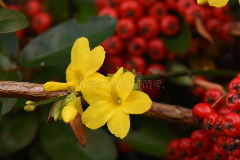 Die vibrierenden Gelbs des Winters Jasmine Flowers Contrast mit dem tiefroten von Winter-Beeren an einem kalten Winter-Tag stockbild