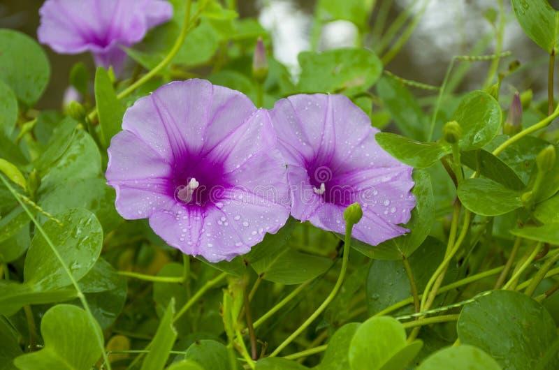 Die violette tropische Blume wächst auf Sand mit Regentropfen lizenzfreie stockfotos