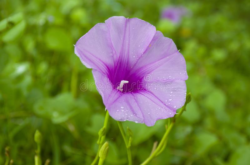 Die violette tropische Blume wächst auf Sand mit Regentropfen lizenzfreies stockfoto