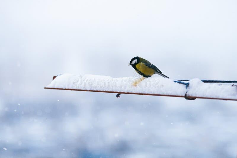 Die Vogelmeise, die Brot im Winter und im Schnee isst, ist flaumiges schönes stockfotos
