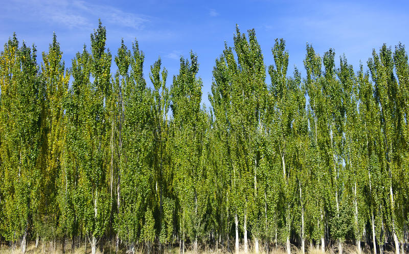 Die Wälder der weißen Pappel lizenzfreie stockfotografie