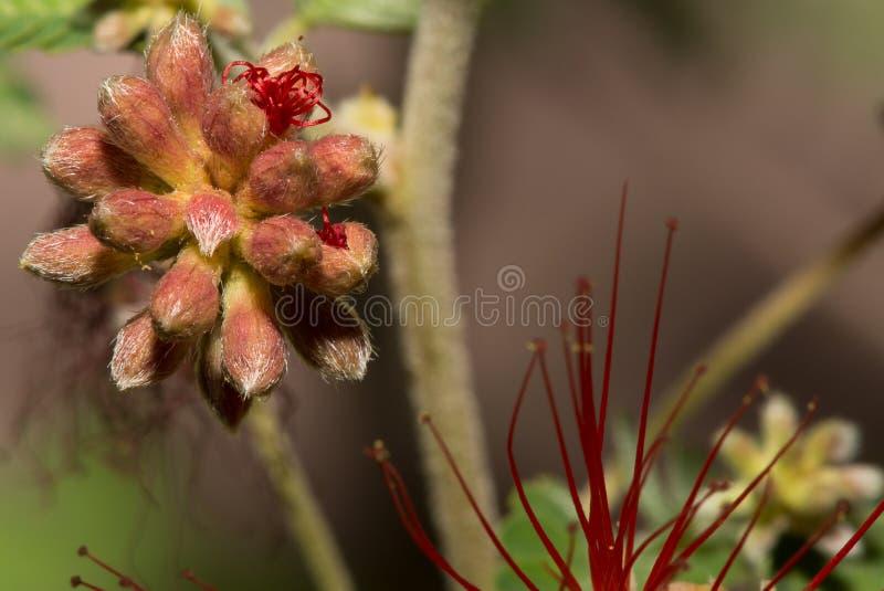 Die Wüsten-Feder-Staubtuch-Blume ist sogar in den frühesten Stadien der Blüte schön stockfotos