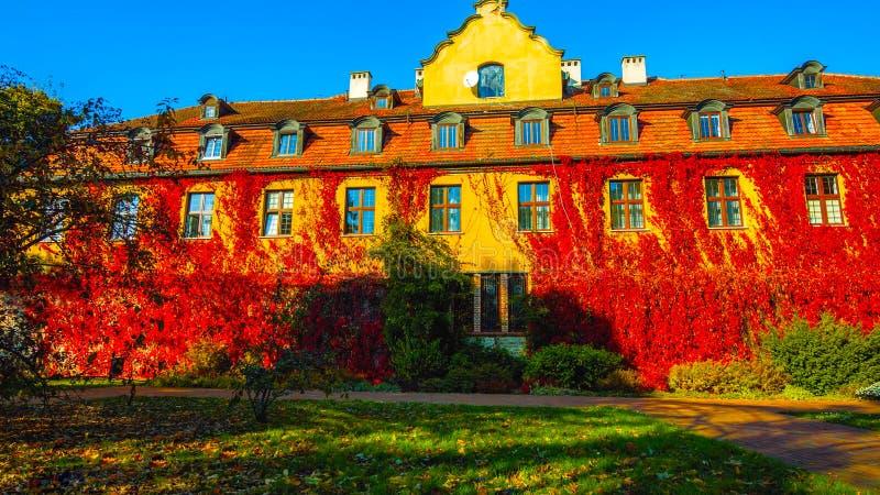 Die Wand wird mit Blättern von Efeublättern, im Hintergrund, im Balkon des schönen Haus _mit Herbst und im Frühling bedeckt lizenzfreie stockfotos