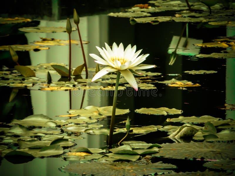 Die Wasserblume stockbilder