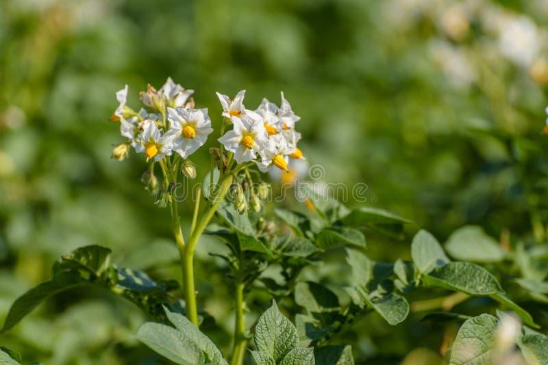 Die weiße Blume einer Kartoffelpflanze Solanum Tuberosum lizenzfreies stockfoto