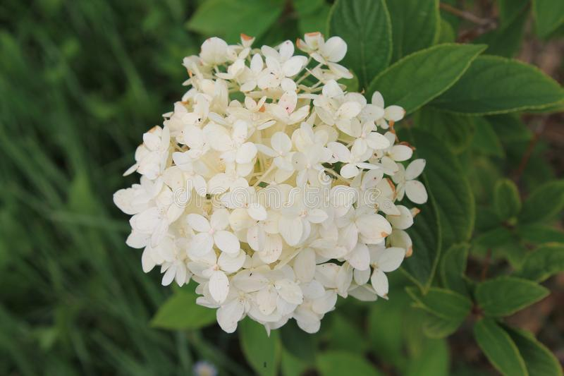Die weiße Chrysantheme wird im Sonnenschein eines Sommertages gebadet Chrysanthemenblume auf lokalisiertem grünem Hintergrund lizenzfreies stockfoto