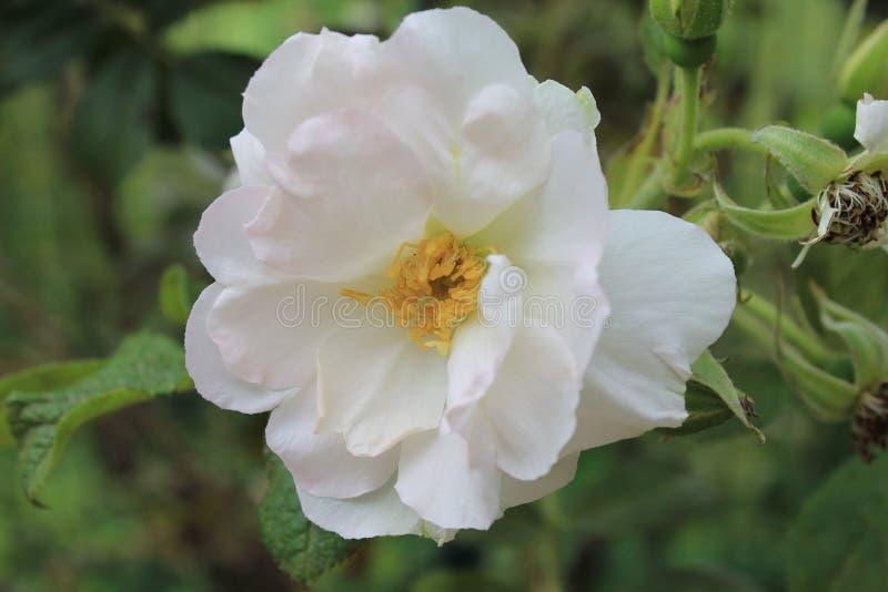 Die weiße Flammenblume wird im Sonnenschein eines Sommertages gebadet Flammenblumeblume auf lokalisiertem grünem Hintergrund lizenzfreies stockbild