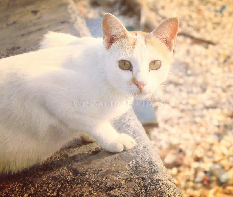 Die weiße Katze lizenzfreie stockfotos