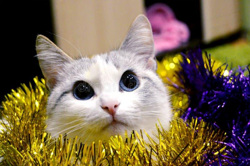 die weiße Katze ist in der Weihnachtsdekoration mit schönen Starren der blauen Augen irgendwo stockfoto