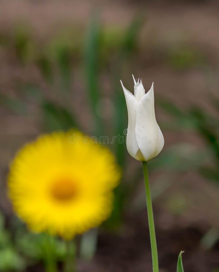 Die weiße Tulpe, die im Frühjahr Garten blüht stockfoto