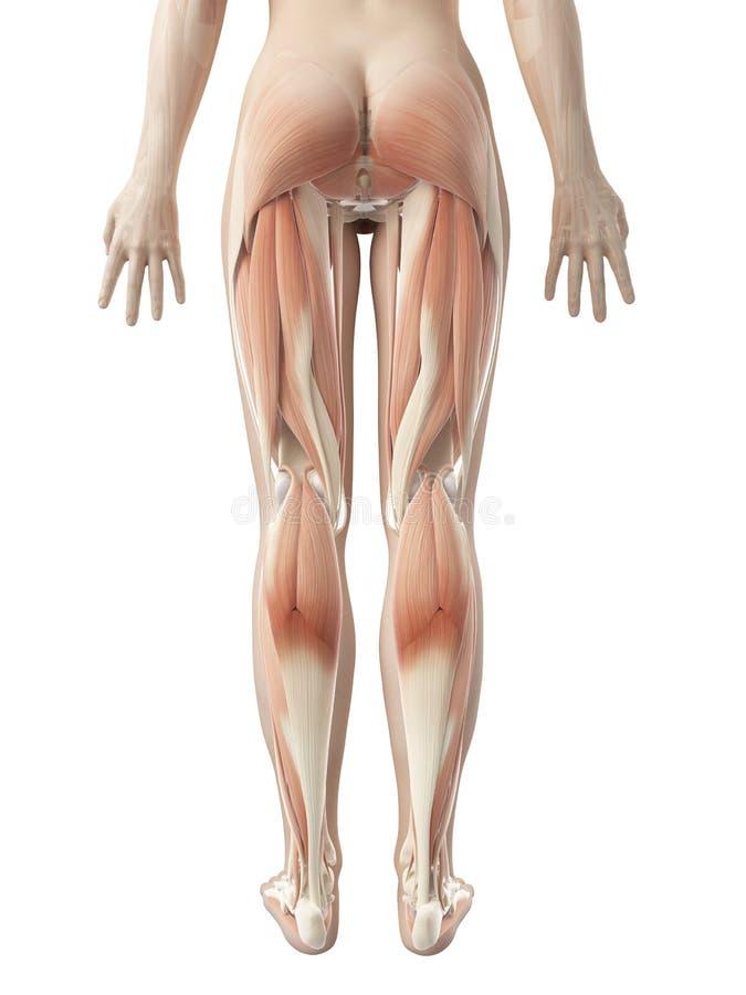 Wunderbar Beinmuskelanatomie Abbildungen Fotos - Anatomie Ideen ...
