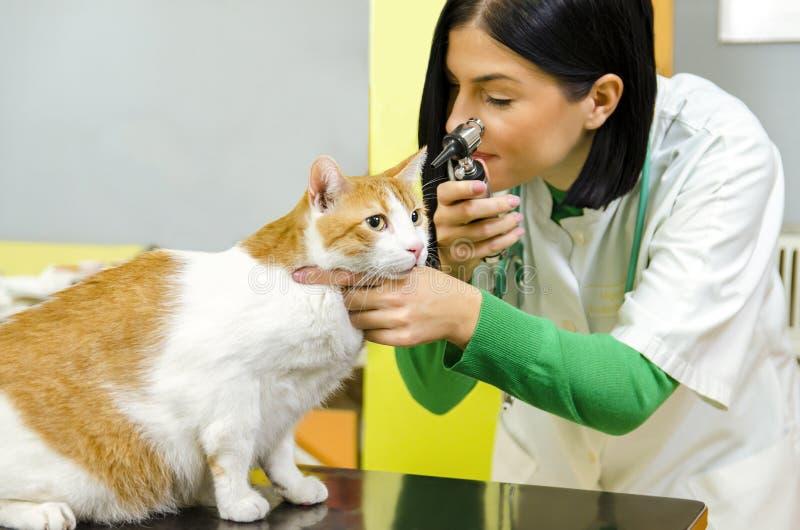 die weiblichen tierärztlichen Ohren der Prüfungskatze stockbild