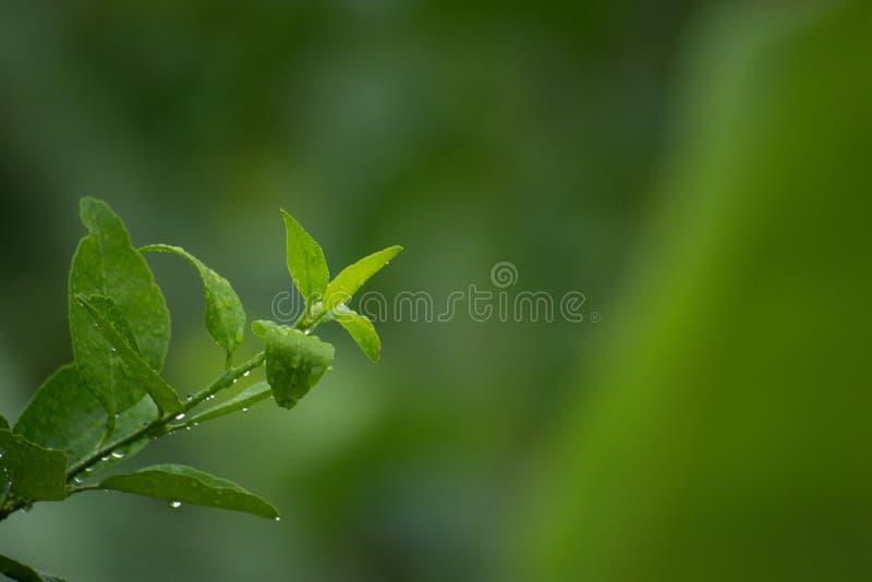 Die weiche Spitze des Zitronenbaums, genommen während des Regens lizenzfreies stockbild