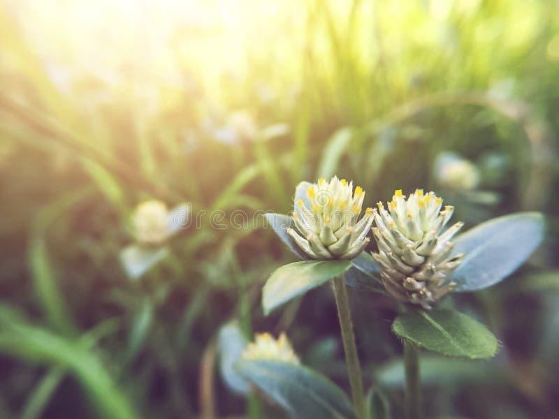 Die Weichzeichnung des Blumengrases mit Sonnenlicht morgens lizenzfreies stockfoto