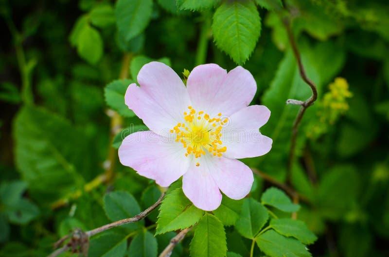 Die wilde Blume stieg (Rosa Canina) stockbild