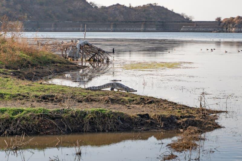Die wilden indischen Krokodile in Sadri stockbilder