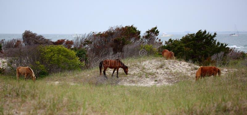 Die wilden Pferde von Shackleford-Banken stockfotos