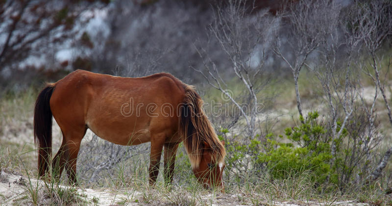 Die wilden Pferde von Shackleford-Banken stockfoto