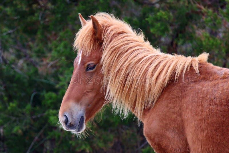 Die wilden Pferde von Shackleford-Banken lizenzfreies stockbild