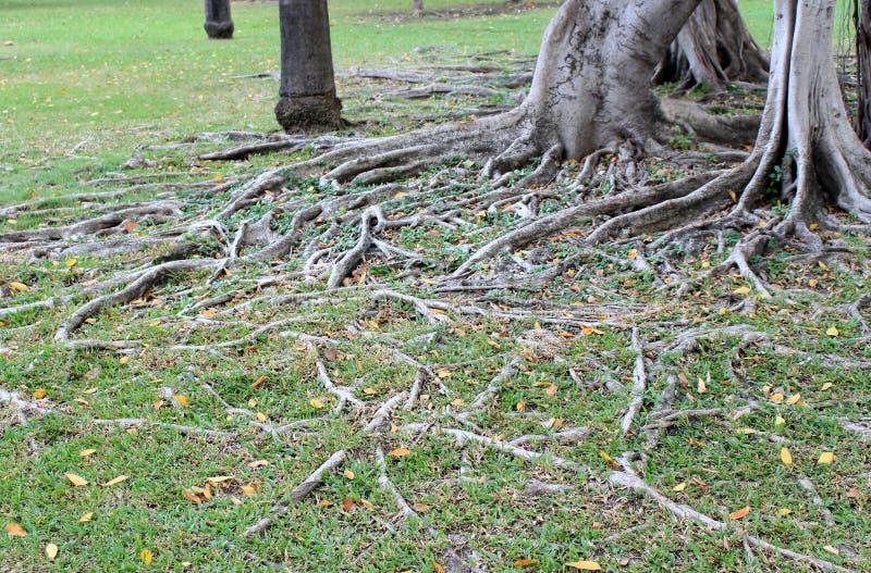 Die Wurzel des Baums lizenzfreie stockfotografie