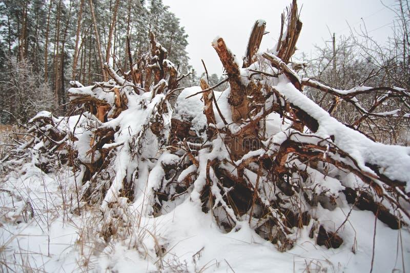 Die Wurzel eines gefallenen Baums stockbilder