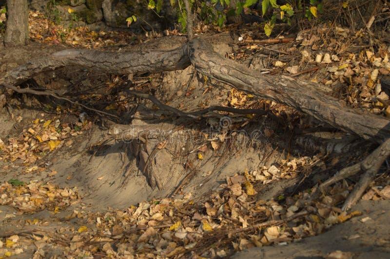 Die Wurzeln der Bäume stockfotografie