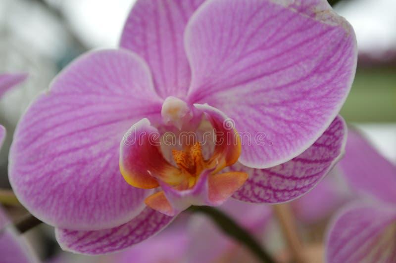 Die Zartheit einer Orchidee stockfotos