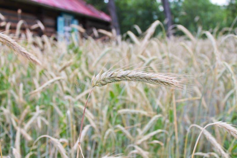 Die Zeit der Ernte des Weizens lizenzfreie stockfotografie