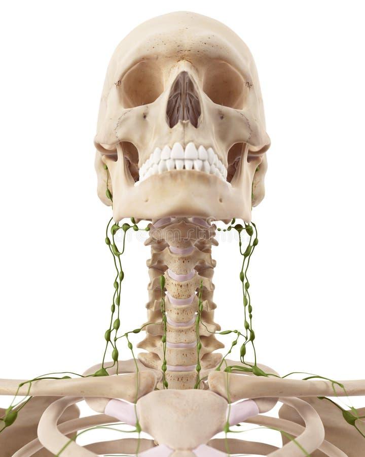 Die zervikalen Lymphknoten stock abbildung. Illustration von ...