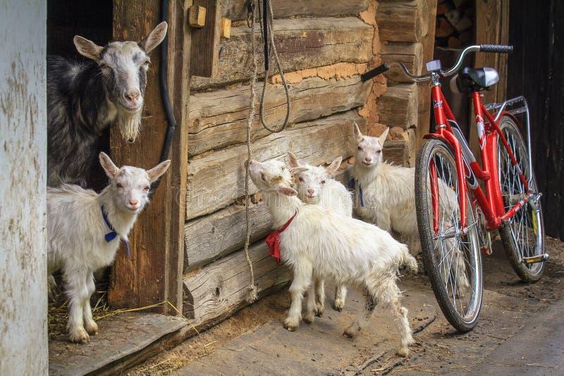Die Ziege und das Kind vier lizenzfreie stockfotografie