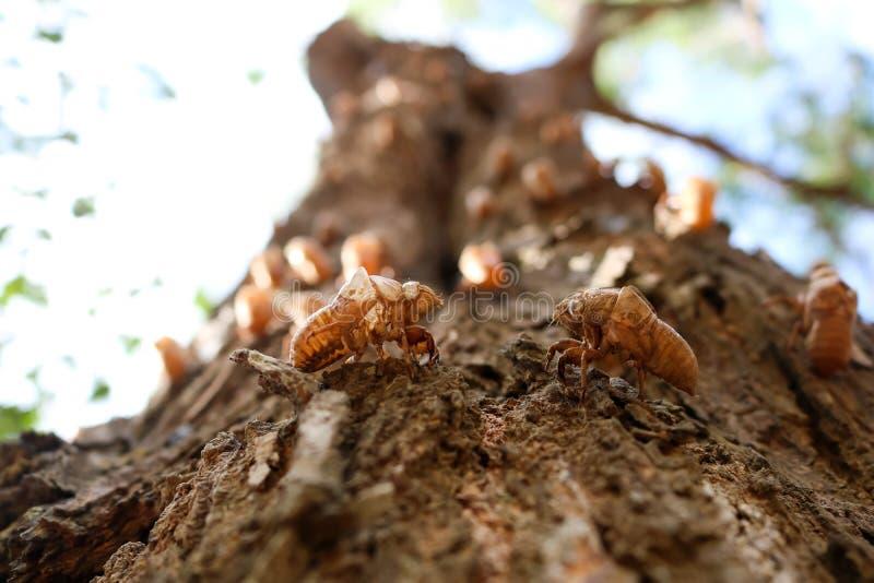 Die Zikaden auf der Barke von Bäumen lizenzfreie stockfotografie