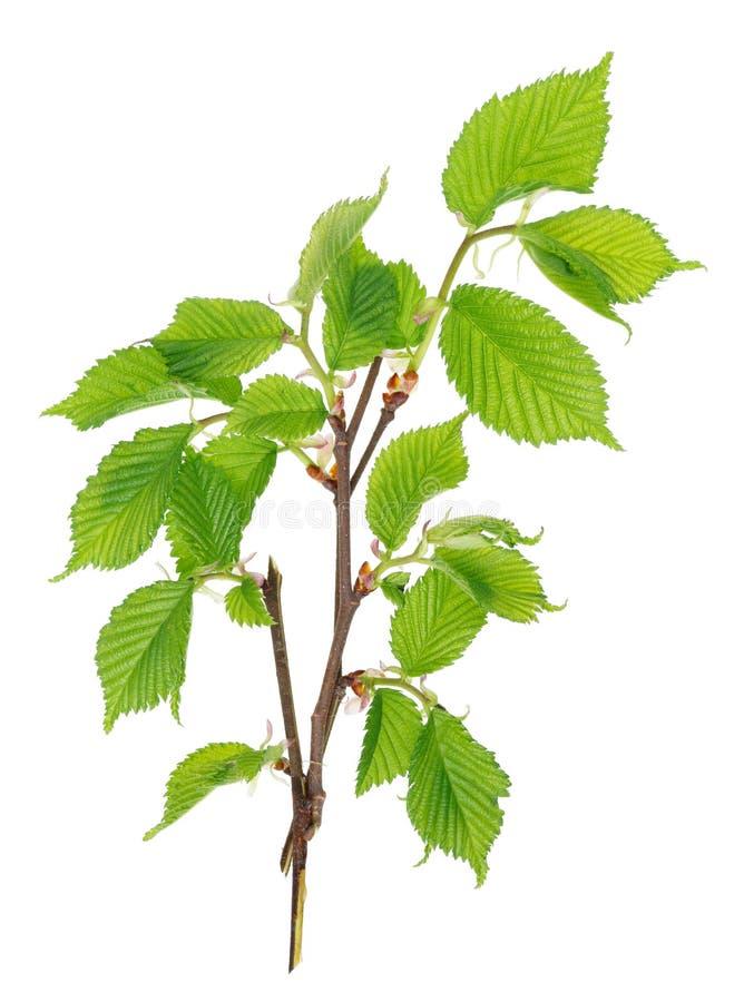 Die Zweige eines Frühling April-Suppengrüns mit zartem wenig Grün lizenzfreies stockfoto
