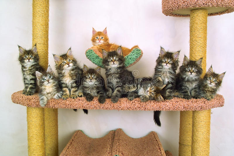 Dieci gattini del coon della Maine di ordinamento fotografia stock libera da diritti