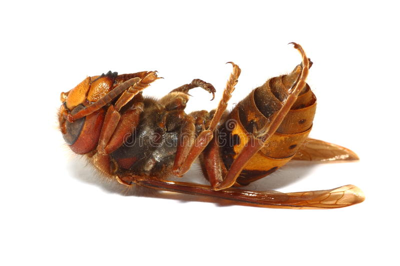 Download Died hornet  on white stock image. Image of pain, predator - 23431407